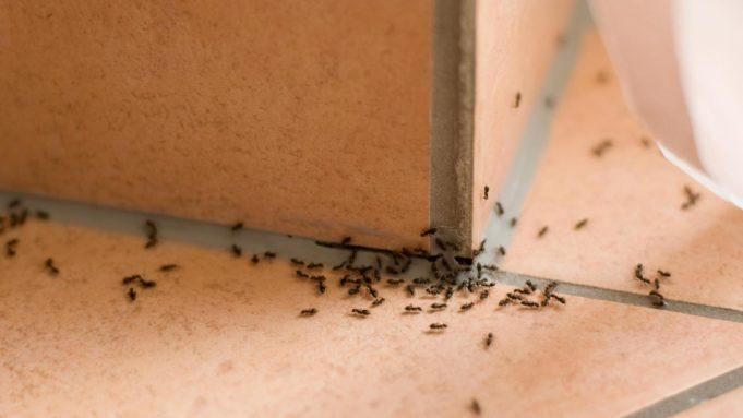 mengusir semut